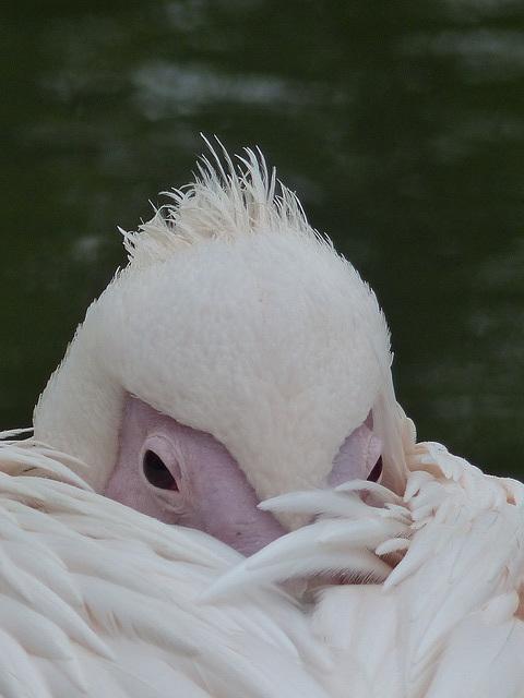 Eastern White Pelican (R1) - 16 October 2015