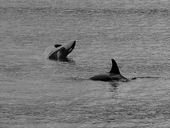 Orcas  (Orcinus orca)  - Misty Fjords National Monument