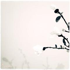 Magnolia delicato