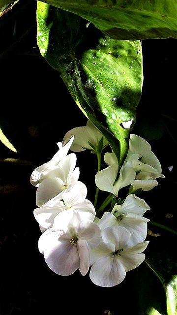 The white geranium