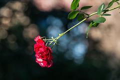 20150910 8805VRTw [D~LIP] Rose, UWZ, Bad Salzuflen
