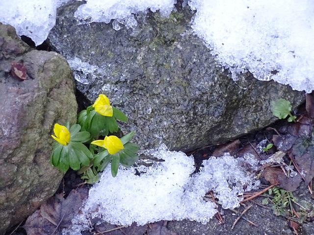 winterlinge und schneereste