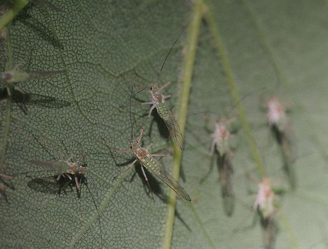 geflügelte Blattlaus