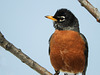 A bright and cheery American Robin