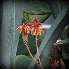 Aloe vera.. et Opuntia vulgaris