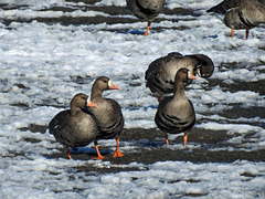 Greater White-fronted Geese / Larus glaucoides