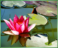 Water lily... ©UdoSm