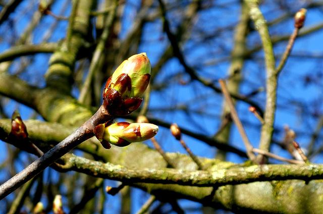 Horse chestnut...