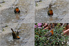 Tiens ! Tiens ! C'est le Robin au bain !!!