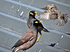 Sparrow Versus Mynas.
