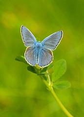 Modraszek ikar - Common blue (Polyommatus icarus)