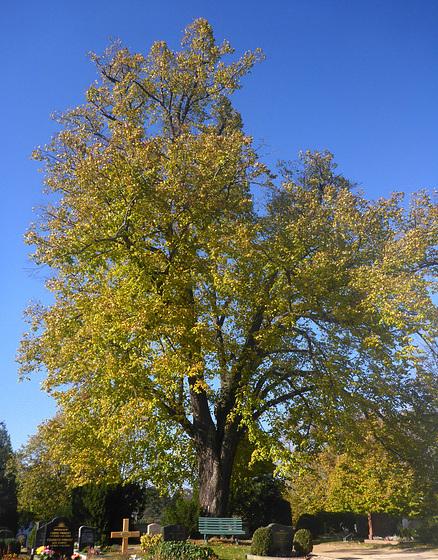 blauer Himmel - alte Linde - Friedhof