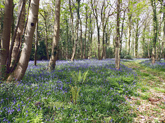 Peace and serenity in the Bluebell woods.