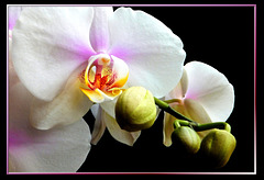 Orchid flowers and buds. ©UdoSm