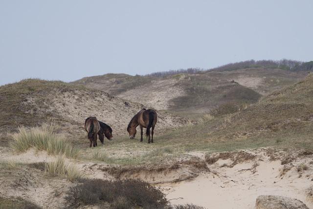 Nordholländischs Dünenreservat DSC09300