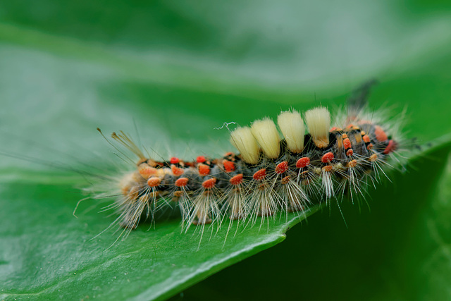 Vapourer Moth Larva - Orgyia antiqua