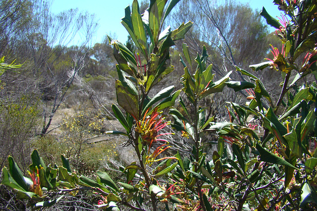 Monarto Holly-leaf Grevillea