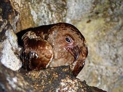 Oilbird, Asa Wright Nature Centre, Trinidad