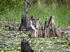 Great egret on a stump