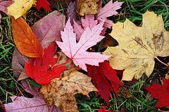 Ein herbstlicher Blätterteppich - an autumnal carpet of leaves