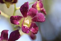Gouttes sur mini orchidée