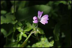 Geranium d'Endress (2)