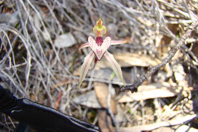 Monarto heart lip orchid