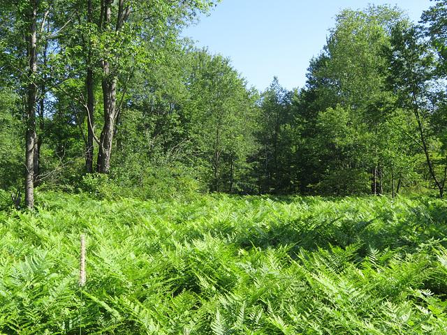 Bracken ferns within the forest