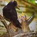 Black birds in my front garden