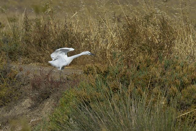 Egretta garzetta, Garça-branca