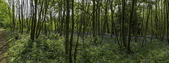 Coppiced trees and Bluebells