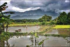 Scène champêtre au Laos