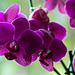 20140830 4726VRAw [D~RI] Orchidee, Rinteln