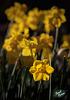 190/366: Golden Daffodils