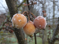 Some very cold crab apples!
