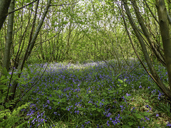 Bluebells in a patch of sunlight for H.A.N.W.E