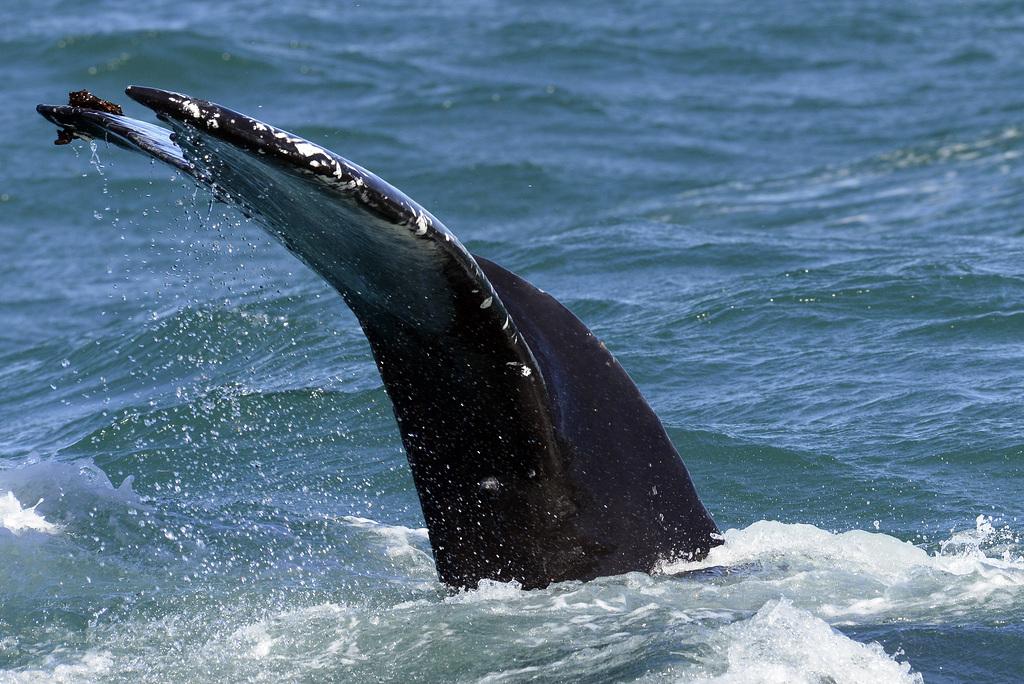 Humpback whale, Skjálfandi  DSC3375