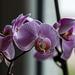 20140830 4728VRAw [D~RI] Orchidee, Rinteln