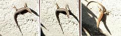 Wall Lizard on Wall... ©UdoSm