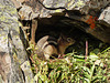 Golden-mantled Ground Squirrel in Pika's cave