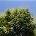 Koelreuteria paniculata (2)