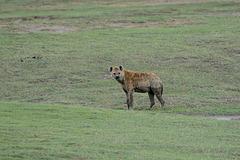 Ngorongoro, Spotted Hyena