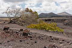 Leben inmitten der Lavawüste - Life in the midst of the lava desert