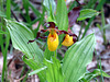Lady's Slipper (Cypripedium calceolus)