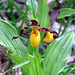 Lady's Slipper (Cypripedium calceolus)