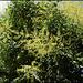 Koelreuteria paniculata (6)