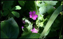 Geranium d'Endress (3)