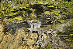 The Old Veteran – Point Lobos State Natural Reserve, California