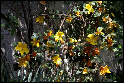 Fremonthodendron (3)
