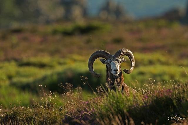 IMG 7406 Mouflon